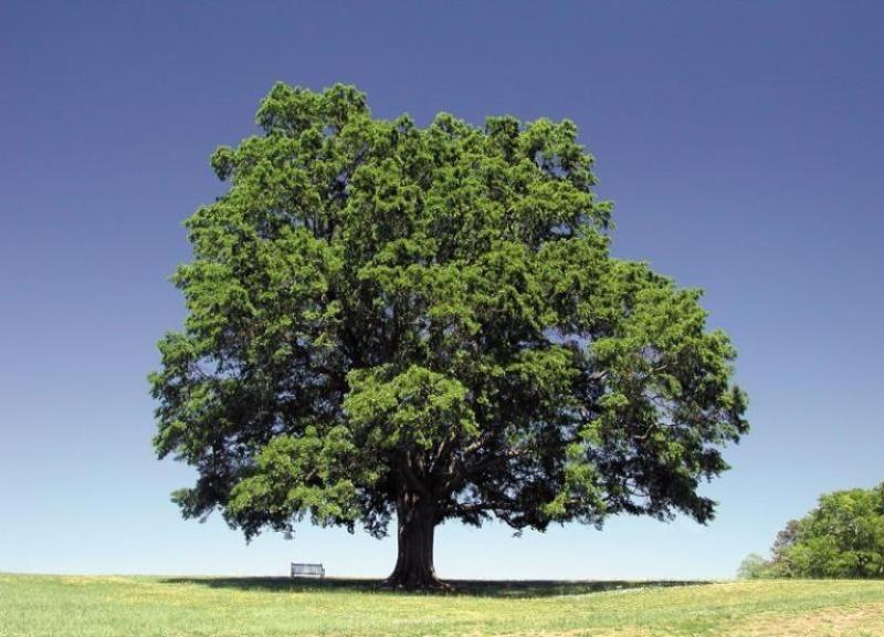 The Oak Tree Not Interested In Cherry Blossoms Basho Tree Oak Tree Plants