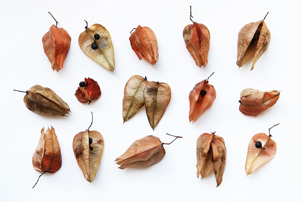 Pin By Heea On Organic Seed Pods Tree Seeds Golden Rain Tree