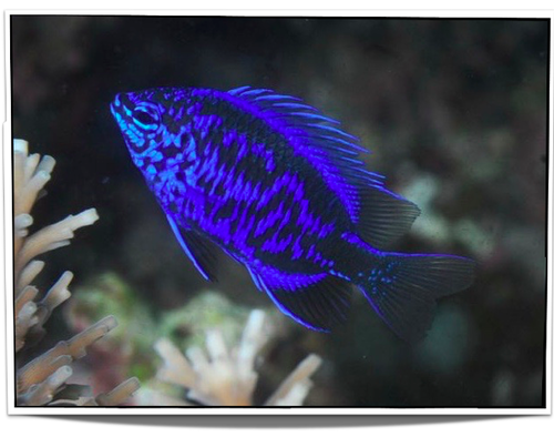Pet Springer S Damselfish For Sale The Springer S Damsels Are Very Popular And Are A Good Beginner S Fish They Eat A Wide Rang Pet Fish Fish Salt Water Fish