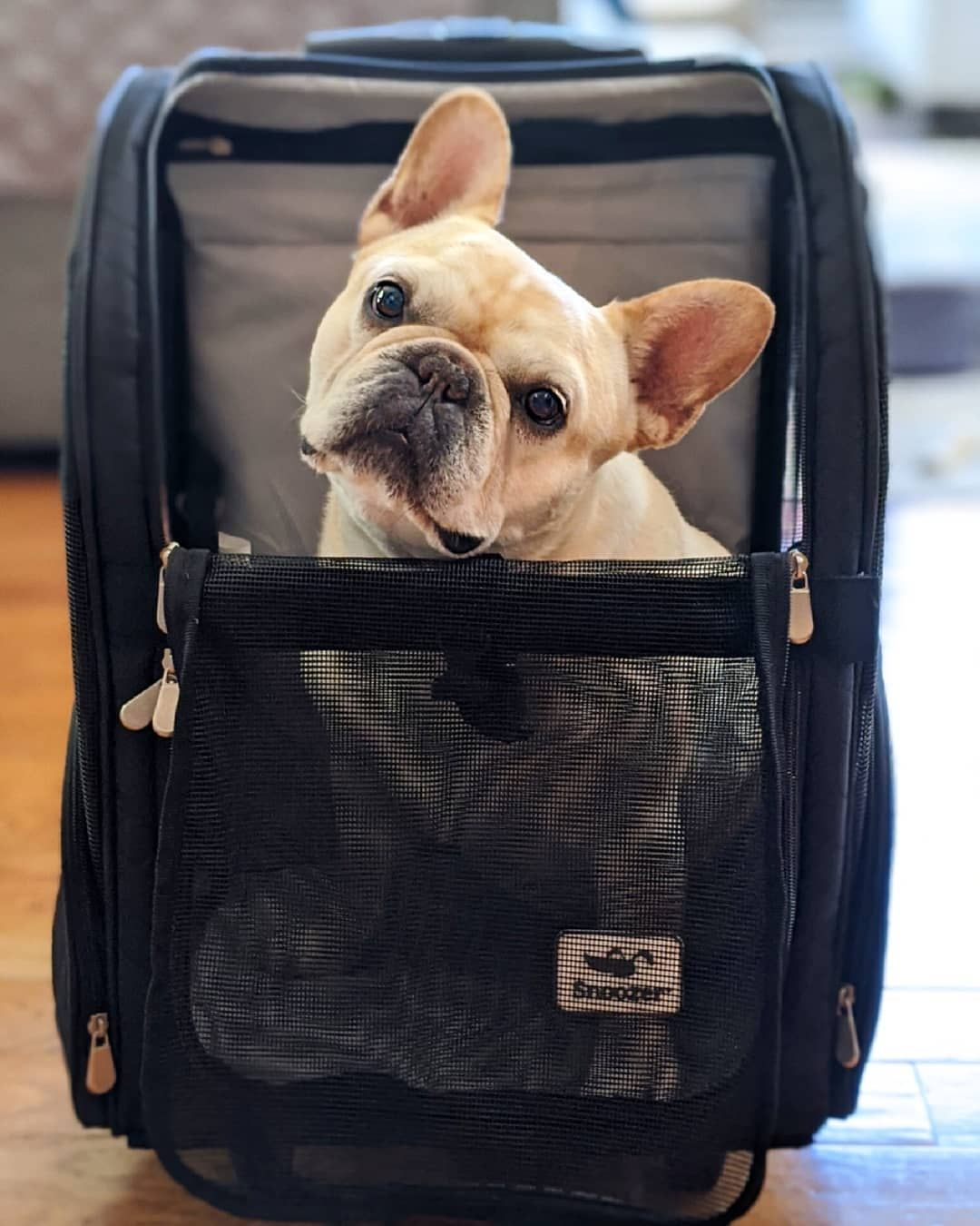 Pin by Barbara Papile on Frenchies in 2020 Dog backpack