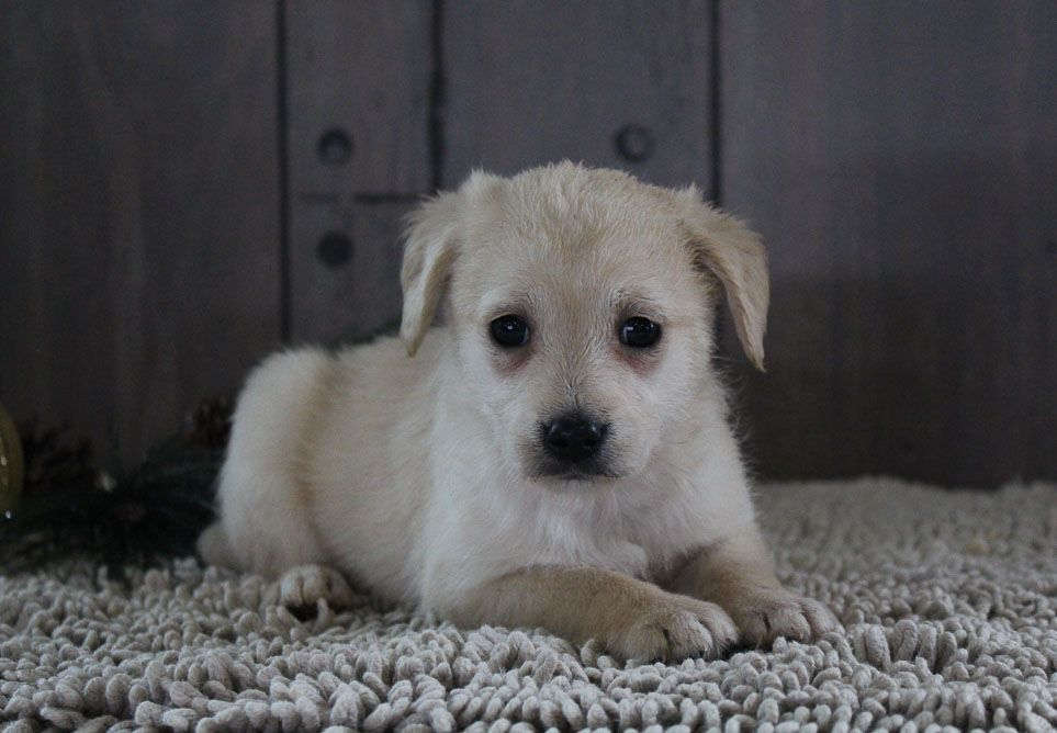 Lovely Puppy For Sale Puppies For Sales Vip Puppies Dieren