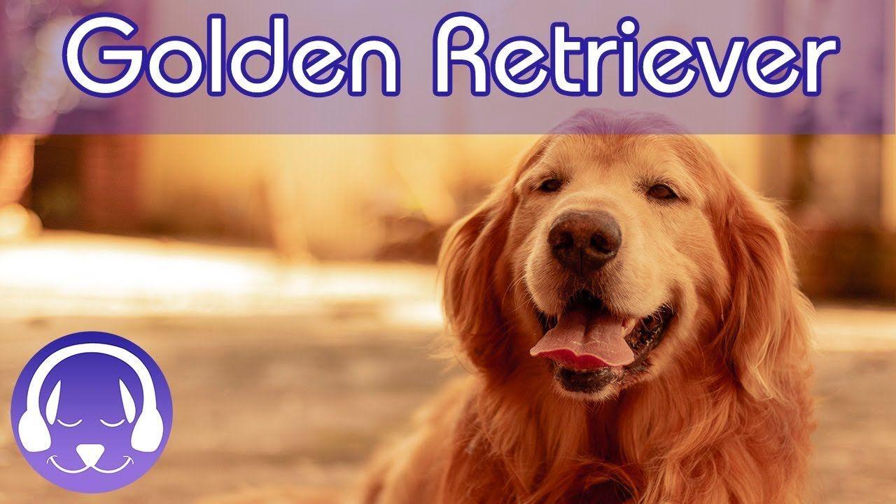 Dog tv for golden retrievers relax your golden
