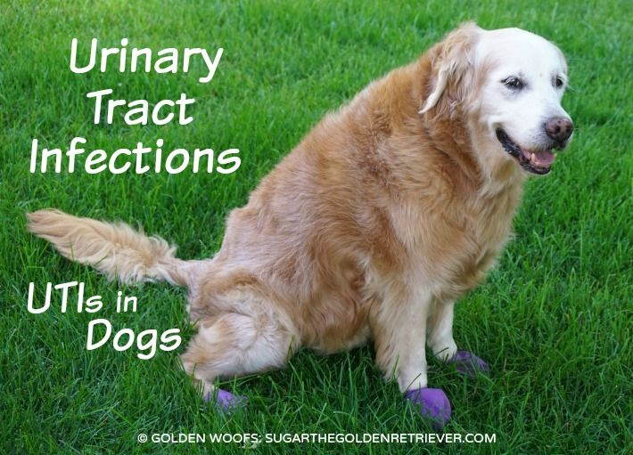 Urinary Tract Infections Utis In Dogs Dog Uti Bladder Infection In Dogs Dog Uti Treatment