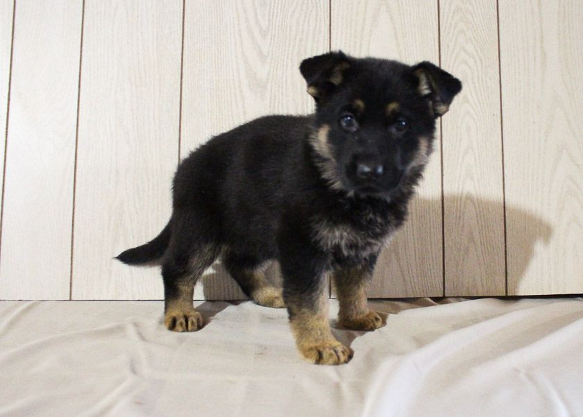 Alayna In 2020 Puppy Finder Puppies Puppies For Sale