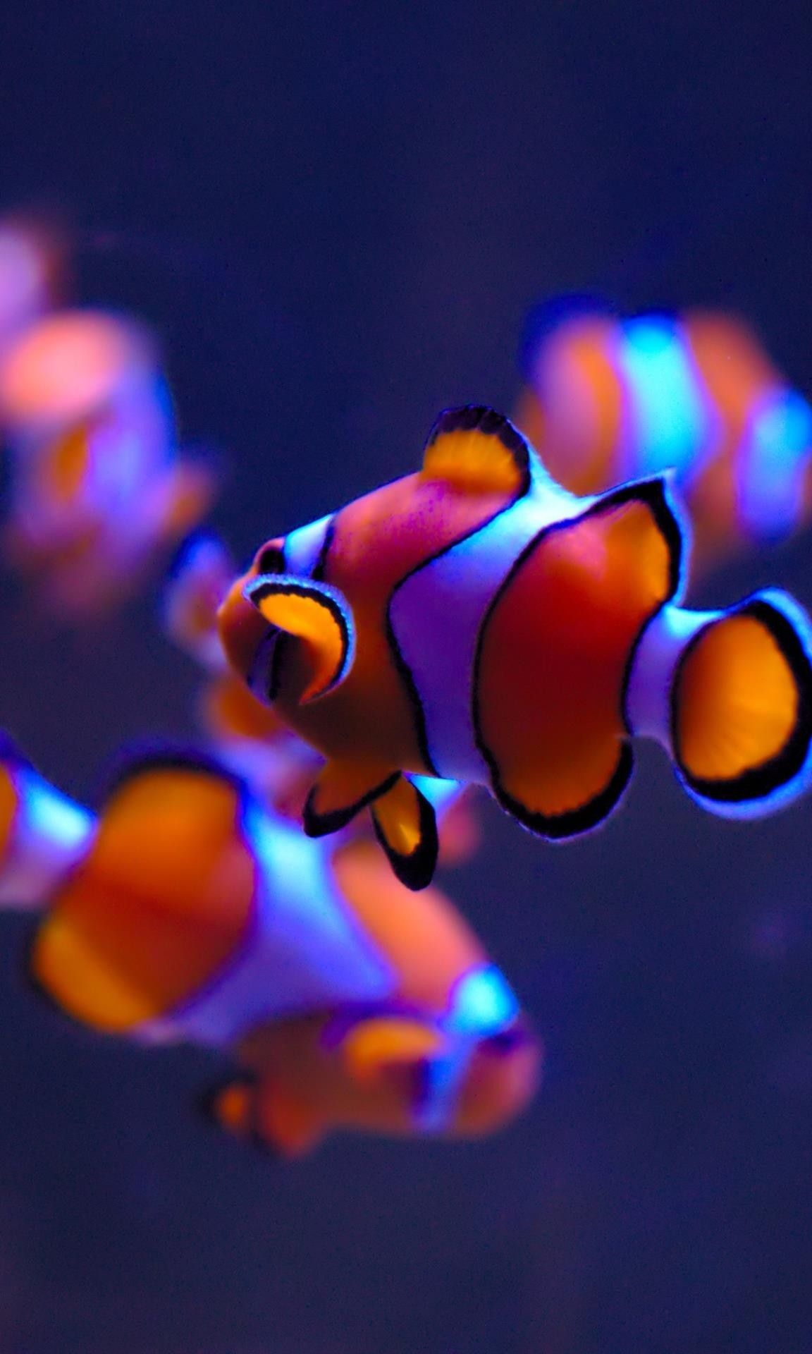 Will I Ever Find My Adoptive Dads Clown Fish Animal Wallpaper