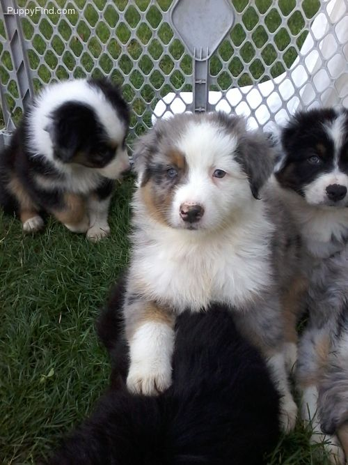 Australian Shepherd Puppies Blue Merle Half Mask Male Puppy