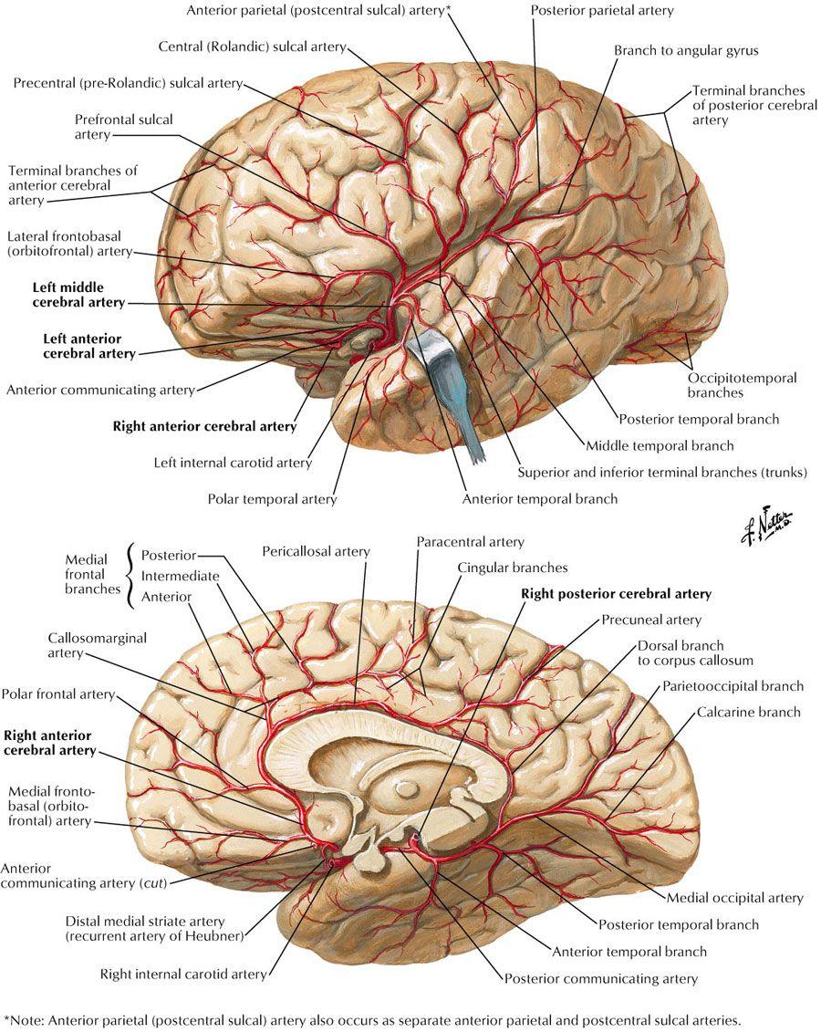 Pin de Gaby Méndez en psi   Pinterest   Anatomía, Neurología y Medicina