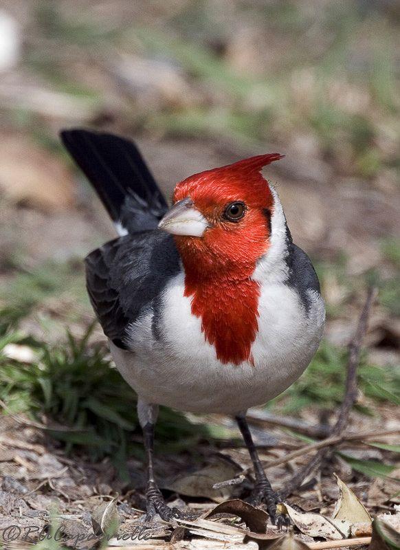 Cardeal Aves Ornamentais Passaros Nome Comum Cardeal Do