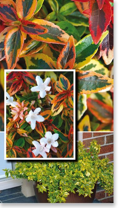 Abelia Kaleidoscope Has Been Selected For Its Unique Ever Changing