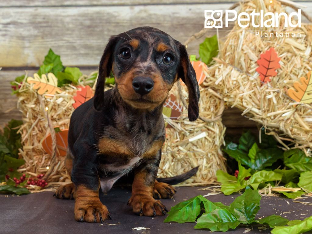 Puppies For Sale Puppies Dachshund Puppies Puppies For Sale