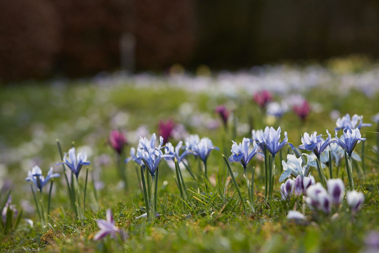 October To Do Plant Dwarf Iris For Early Spring Flowers Gardenista Dwarf Iris Early Spring Flowers White Flower Farm