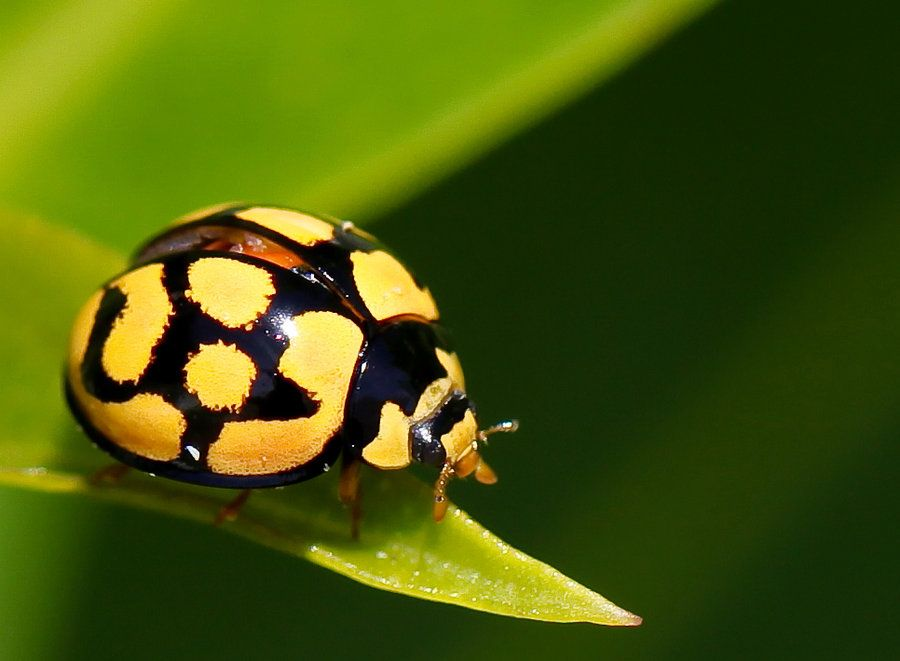 Yellow and Black paintings | Yellow-and black ladybug by
