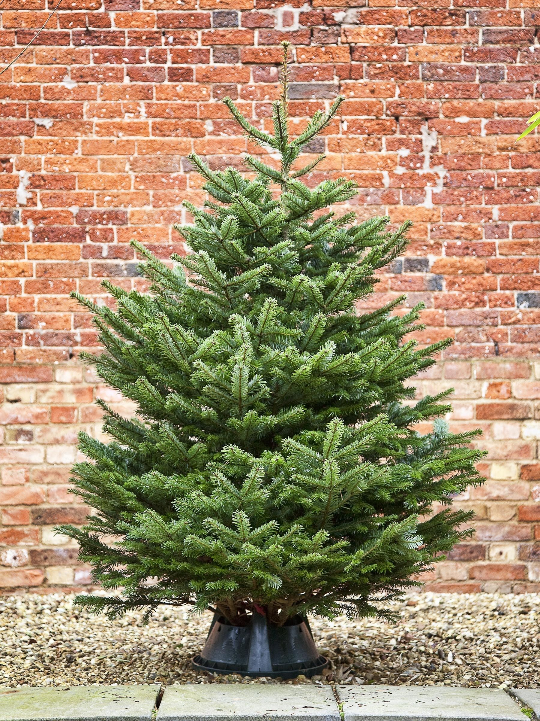 Nordmann Fir | Deck the halls... | Pinterest | Firs, Christmas tree ...