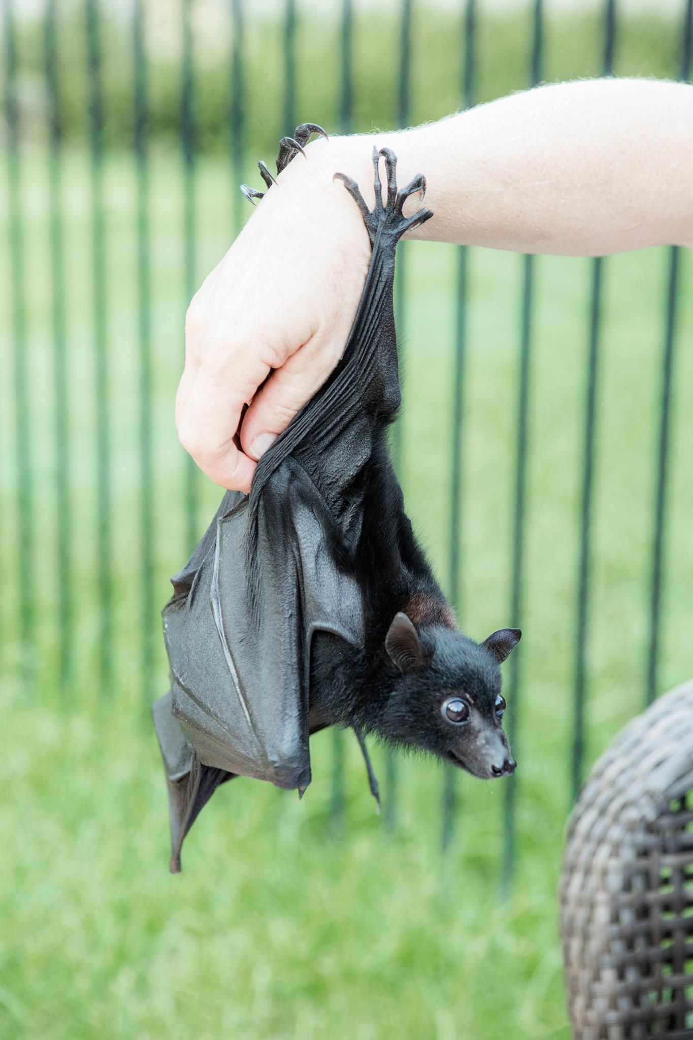 Australian Black Flying Fox? Are they the biggest bats