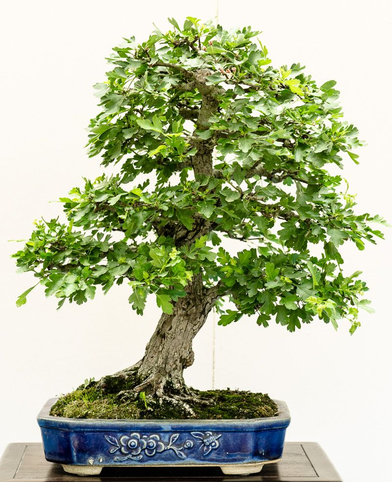 wei dorn crataegus als bonsai bonsai b ume pinterest bonsai baum garten m nchen und baum. Black Bedroom Furniture Sets. Home Design Ideas