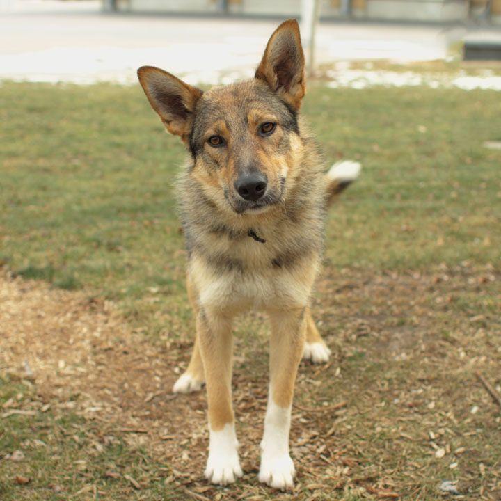 Pin By Amy Yoder On Dog German Shepherd German Shepherd Mix