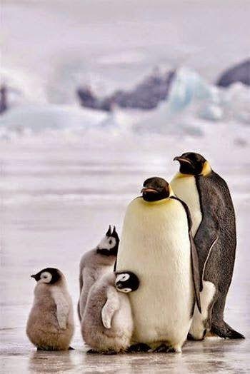 Ruta a la Patagonia - Familia de pinguinos -