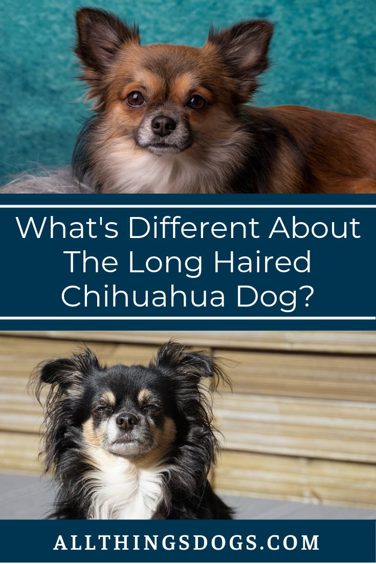 Chihuahuas come in various sizes, colors and coat lengths