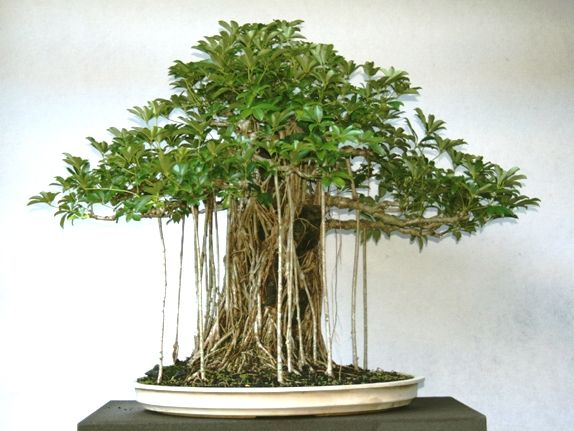 Image Result For Dwarf Schefflera Bonsai Bonsai Tree Types Bonsai Tree Indoor Bonsai Tree
