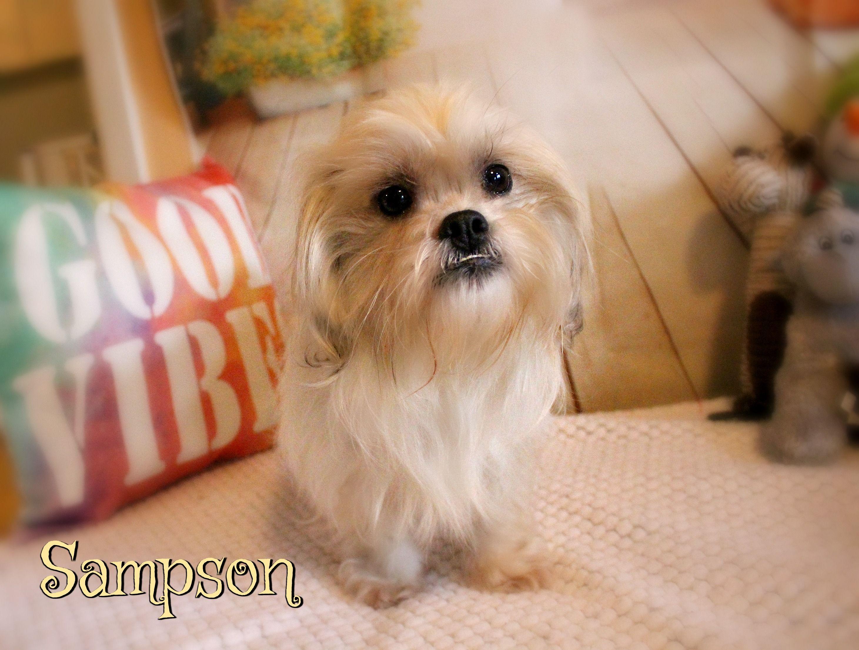 Shih Tzu Dog For Adoption In Benton La Adn 438036 On Puppyfinder