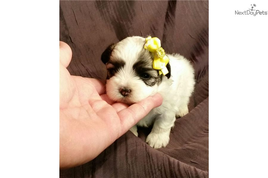 Mal-Shi - Malshi puppy for sale near Springfield, Missouri