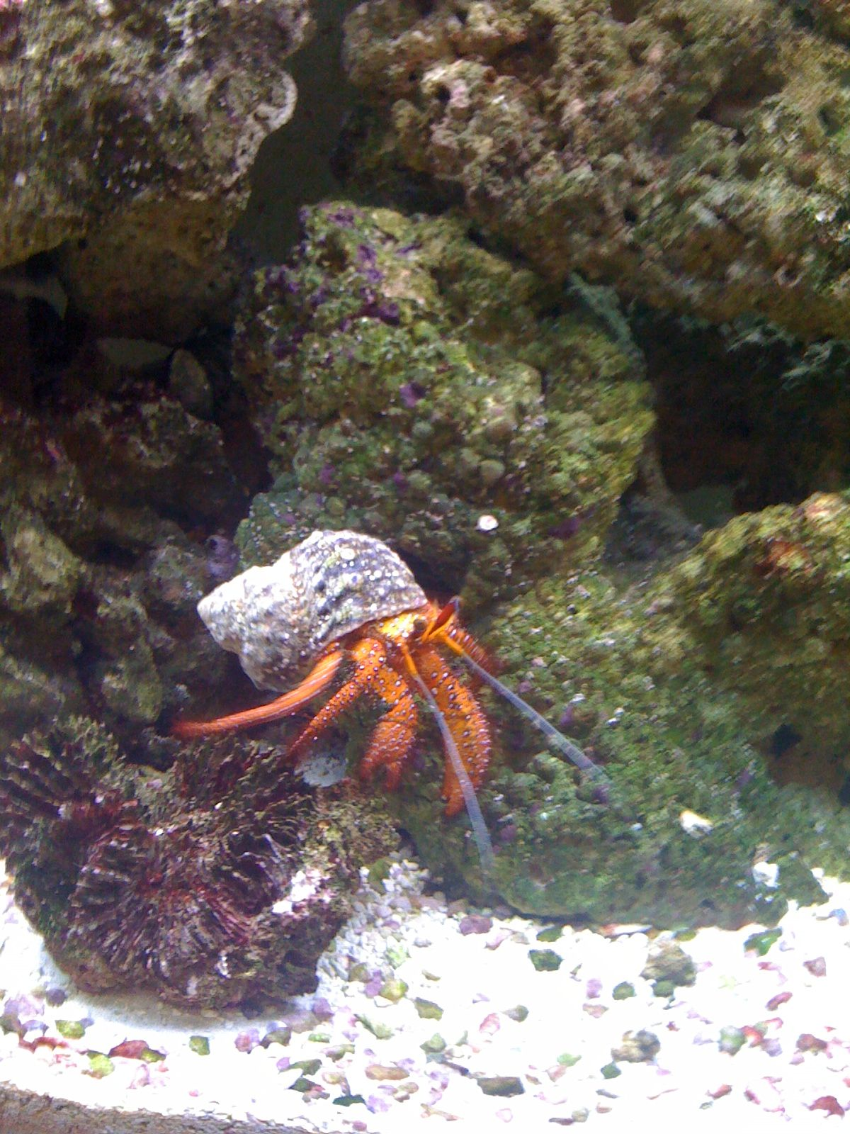 Dexter Our Hairy Red Leg Hermit Crab Named Because He Would Secretly Kill Fish In Our Tank So We Got Rid Of Him Saltwater Aquarium Hermit Crab Crab