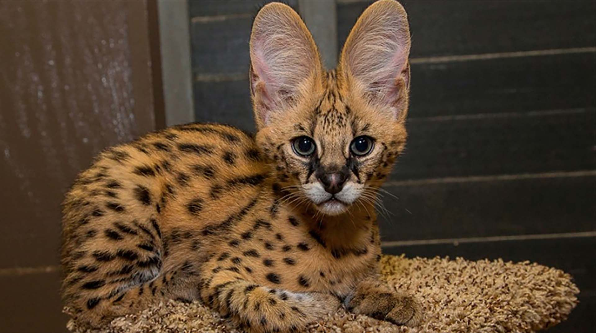 African Cat With Pointy Ears