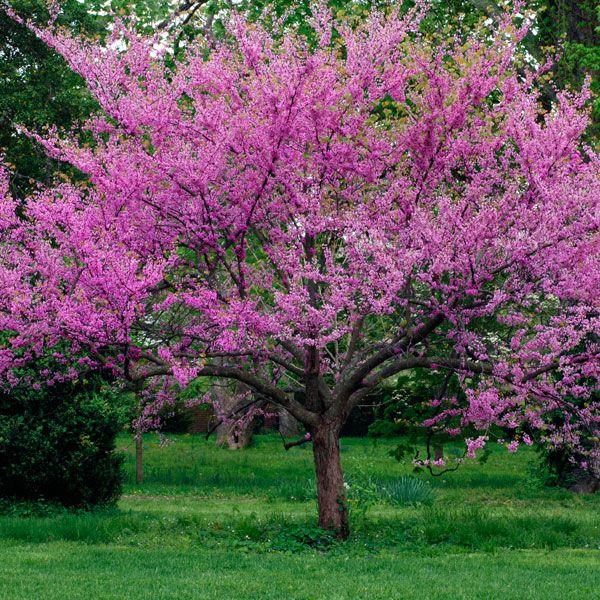 dogwood tree in oklahoma oklahoma redbud oklahoma cercis canadensis texensis my garden