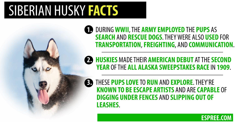 Siberian Husky Facts Husky Facts Siberian Husky Alaskan Husky