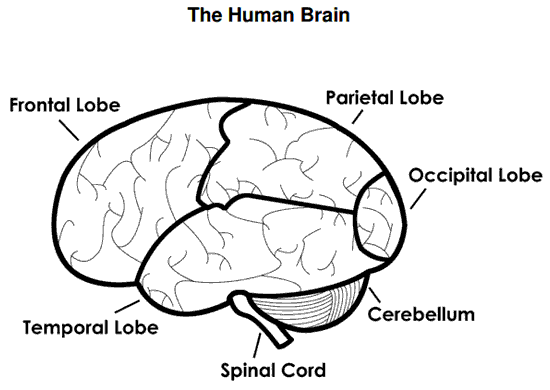how to draw human brain class 5