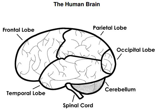 simple brain diagram for kids aofcom