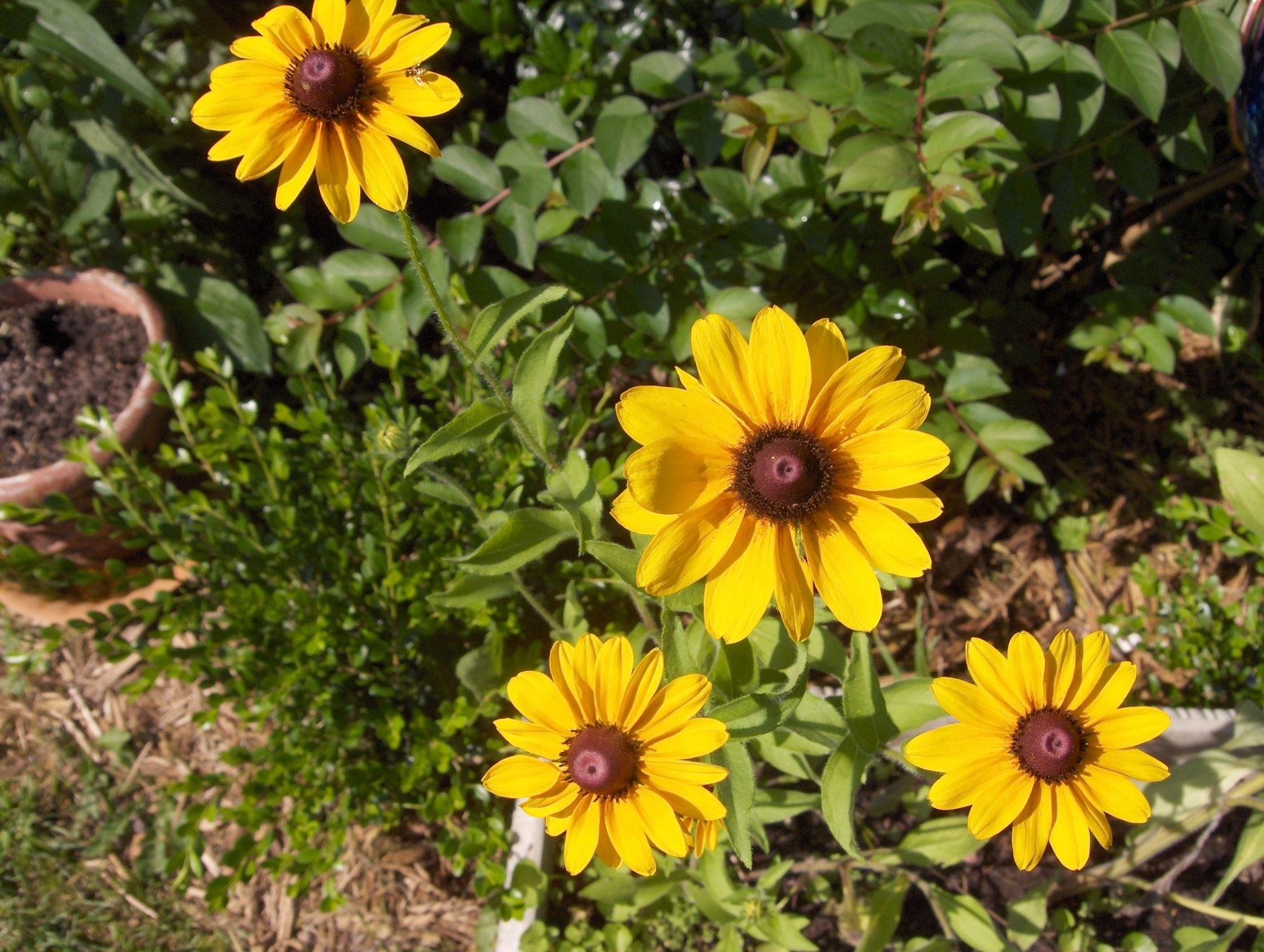 Blackeyed susan black eyed susan flower garden