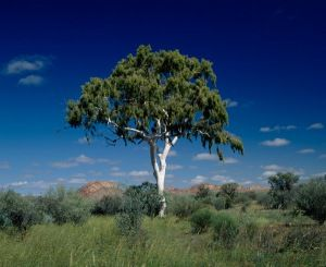 Ghost Gumtree Australia Gumtree Australia Eucalyptus Tree Tree