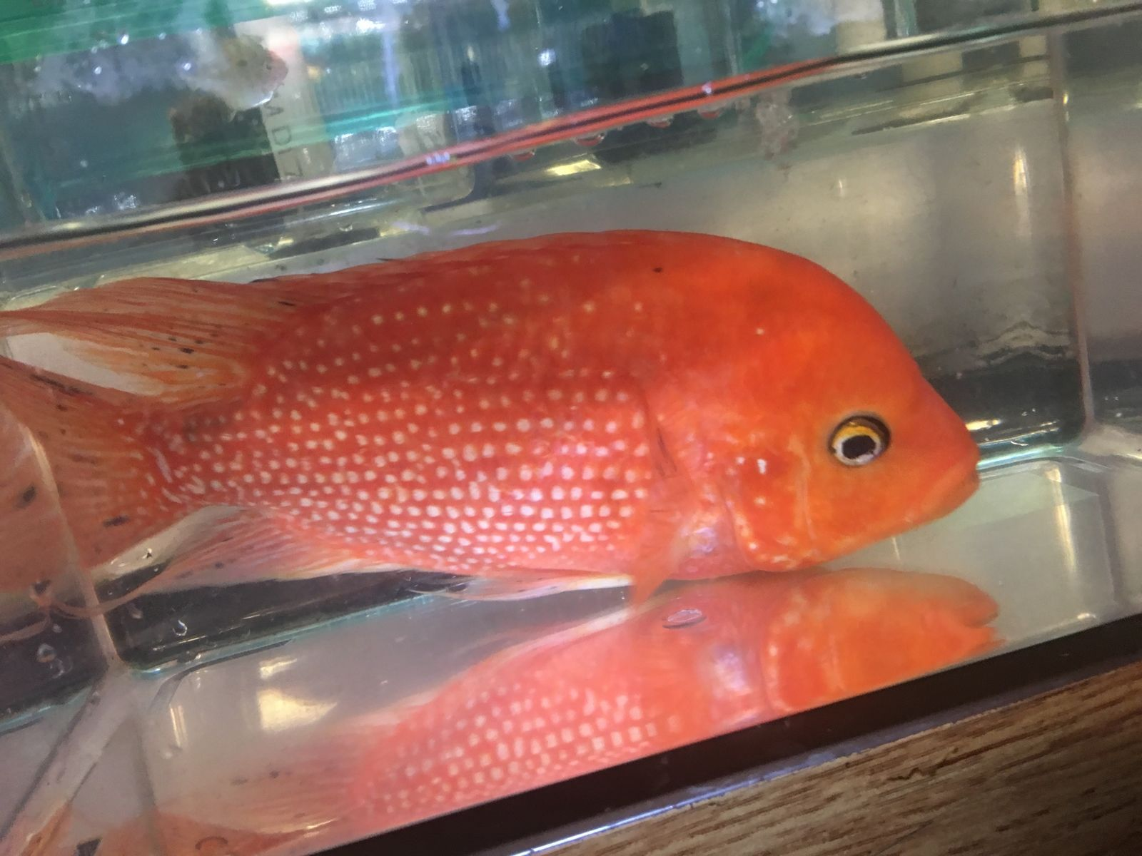 Red Texas Cichlid For Sale Imported From Breeder In Thailand Cichlids Fish Pet Red