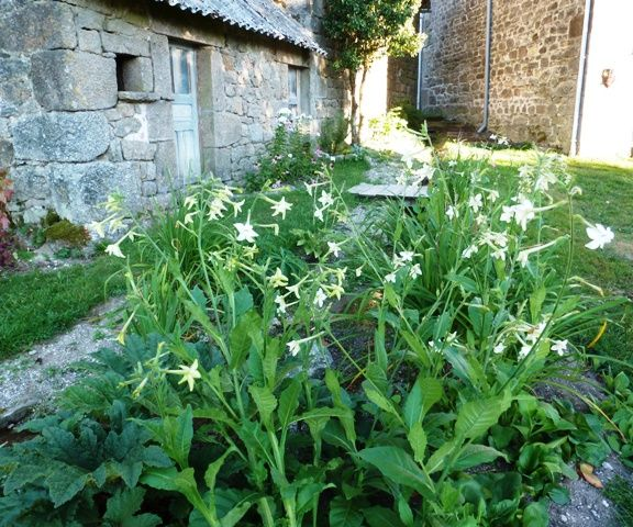 Gardening in France, Nicotiana sylvestris