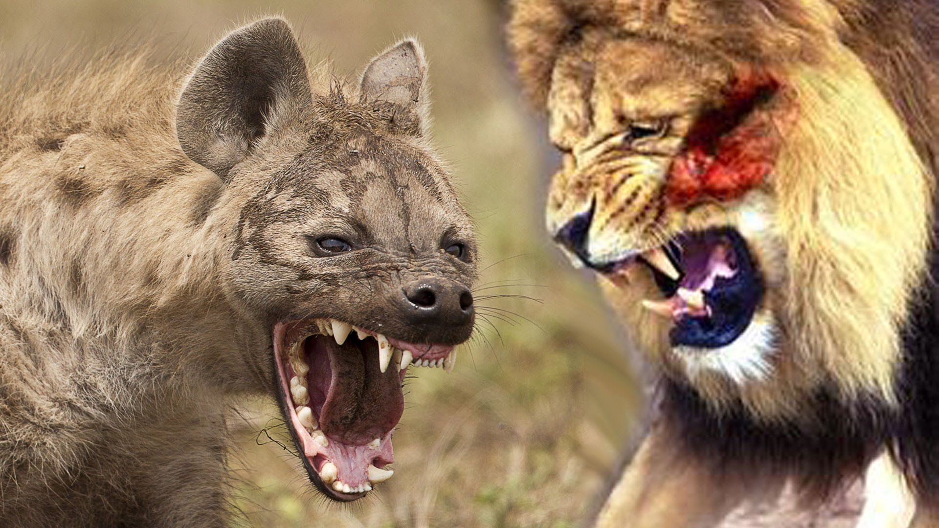 Lions Vs Hyenas - [Super Killer Machines] - National Geographic Documentary