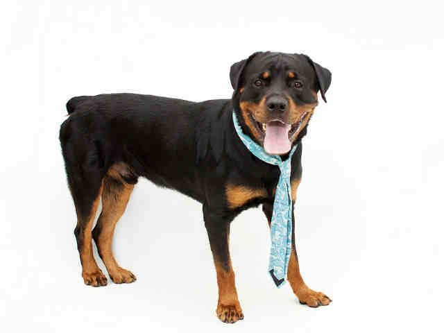 Rottweiler Dog For Adoption In Orlando Fl Adn 674662 On