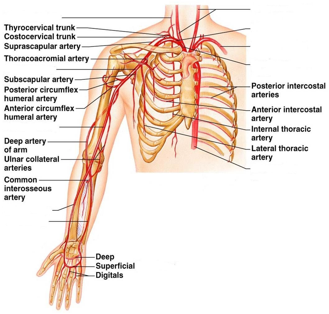 Vein Anatomy Blank Diagrams - Electrical Work Wiring Diagram •