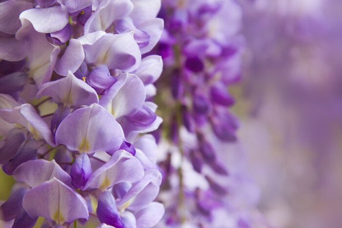 Wisteria Flower Meaning Flower Meanings Wisteria Seasonal Flowers