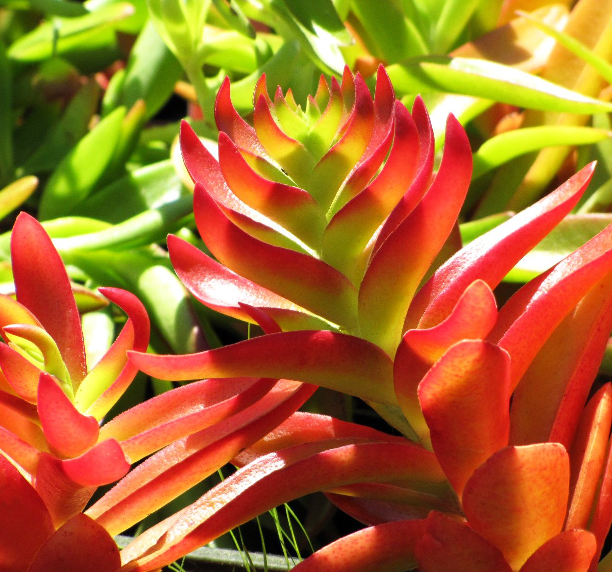 Crassula Erosula 39 Campfire Simply Succulents Pinterest Campfires Cacti And Gardens