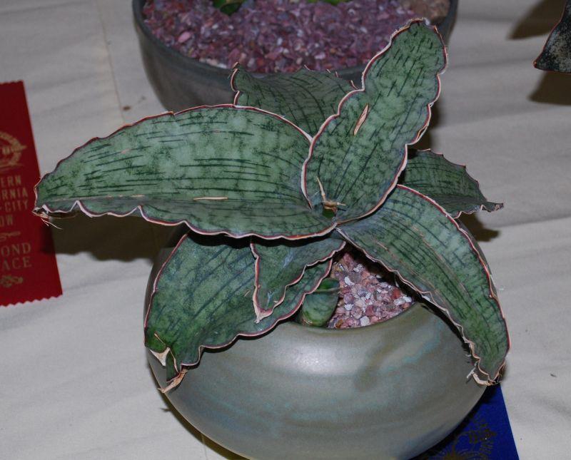 Sansevieria kirkii /'SIlver Blue/' house plant