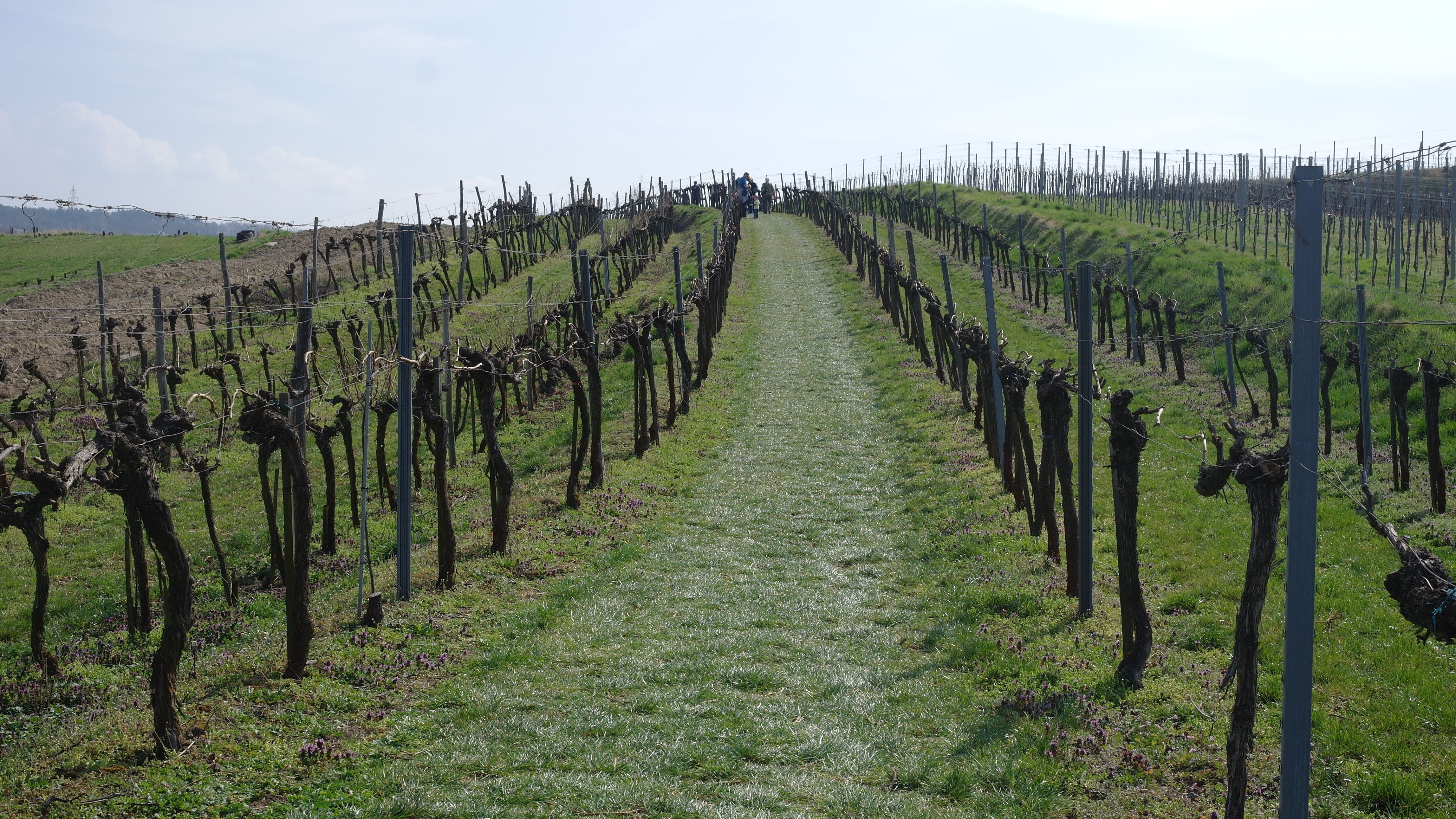 #austria #wachau #vine #vinery #vineyard #winery