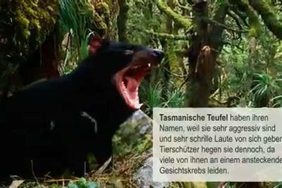 Tasmanische Teufel Band