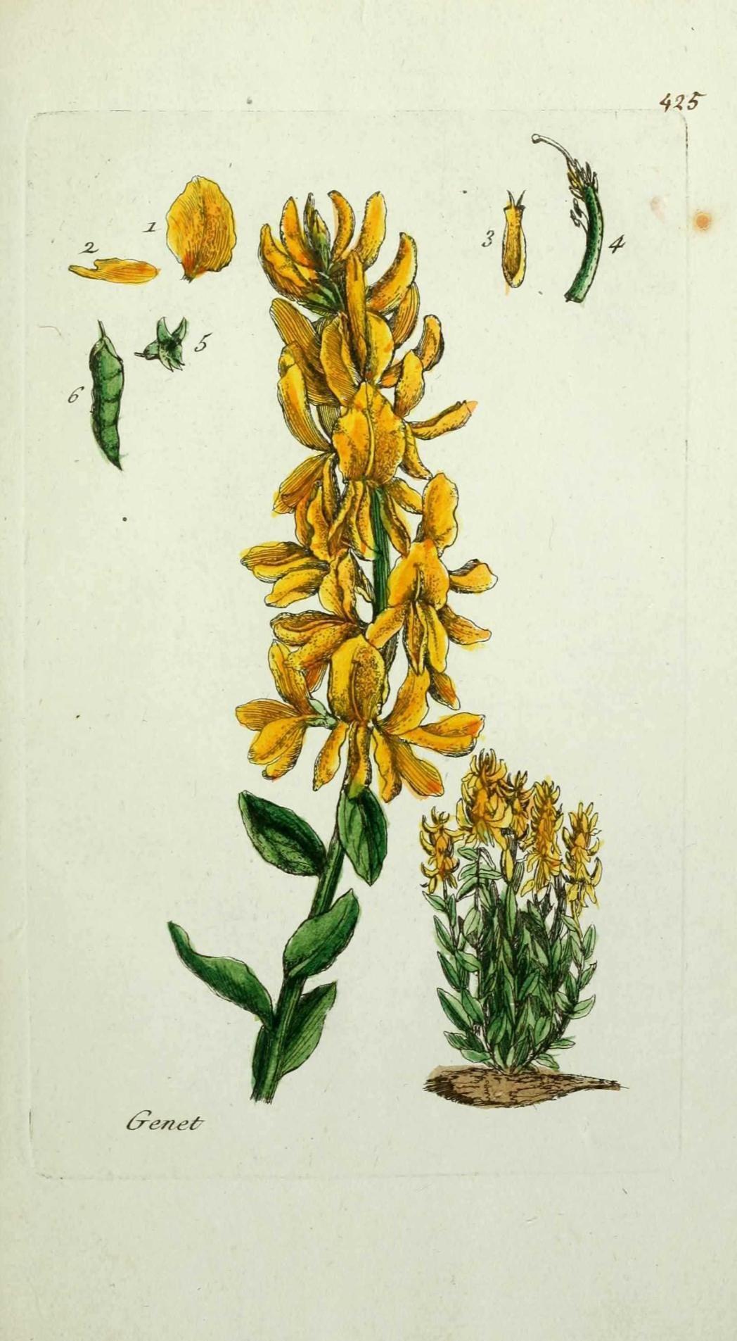 flore de paris : genet - genista tinctoria ( genestrole, bonnet de cocu ).jpg