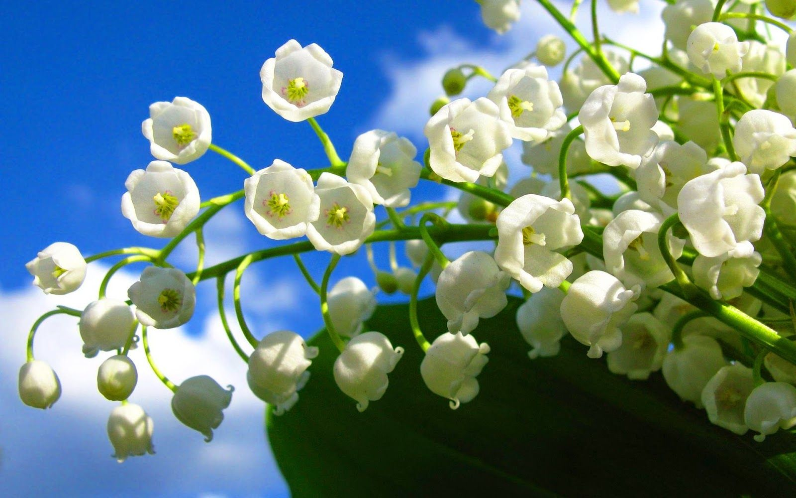 Lirio De Los Valles Valley Flowers Lily Of The Valley Flowers Nature