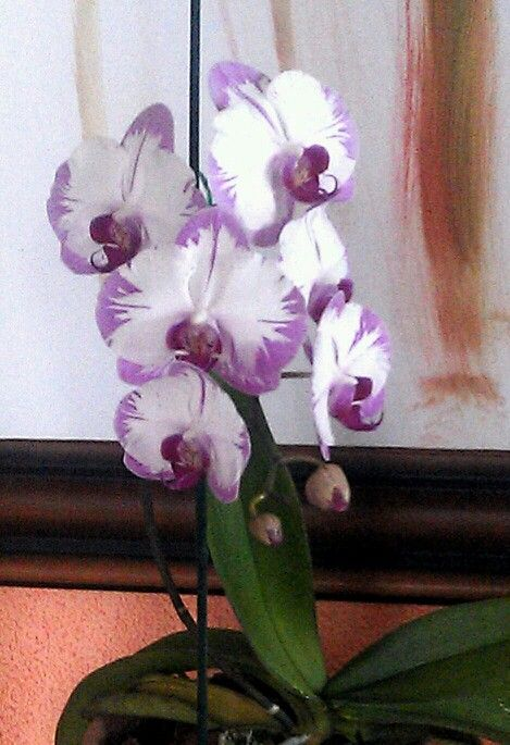 Phalaenopsis White With Purple Edges Phalaenopsis Orchid Orchidaceae Beautiful Orchids