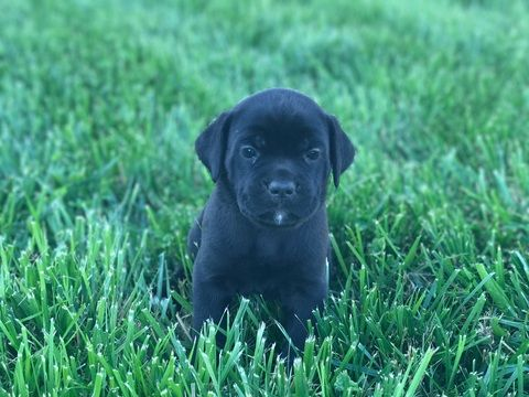 Litter Of 8 Cane Corso Puppies For Sale In Springfield Mo Adn 35804 On Puppyfinder Com Gender Male S And Fem Puppies For Sale Cane Corso Cane Corso Puppies