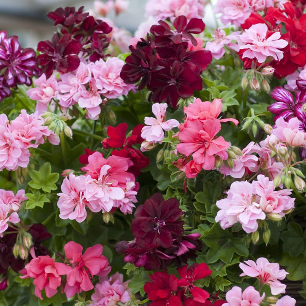 pink and coral flower hanging baskets for summer in july
