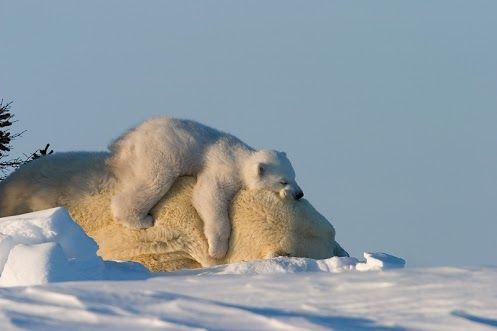 Photographer  Thorsten Milse    #polarbear