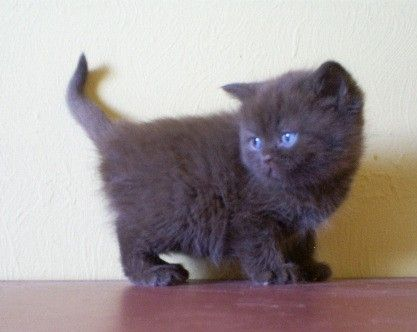 British Shorthair And Scottish Fold Kittens For Sale Cute Cats And Kittens Scottish Fold Kittens British Shorthair